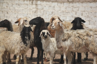 The sheep rule the streets in Dahab